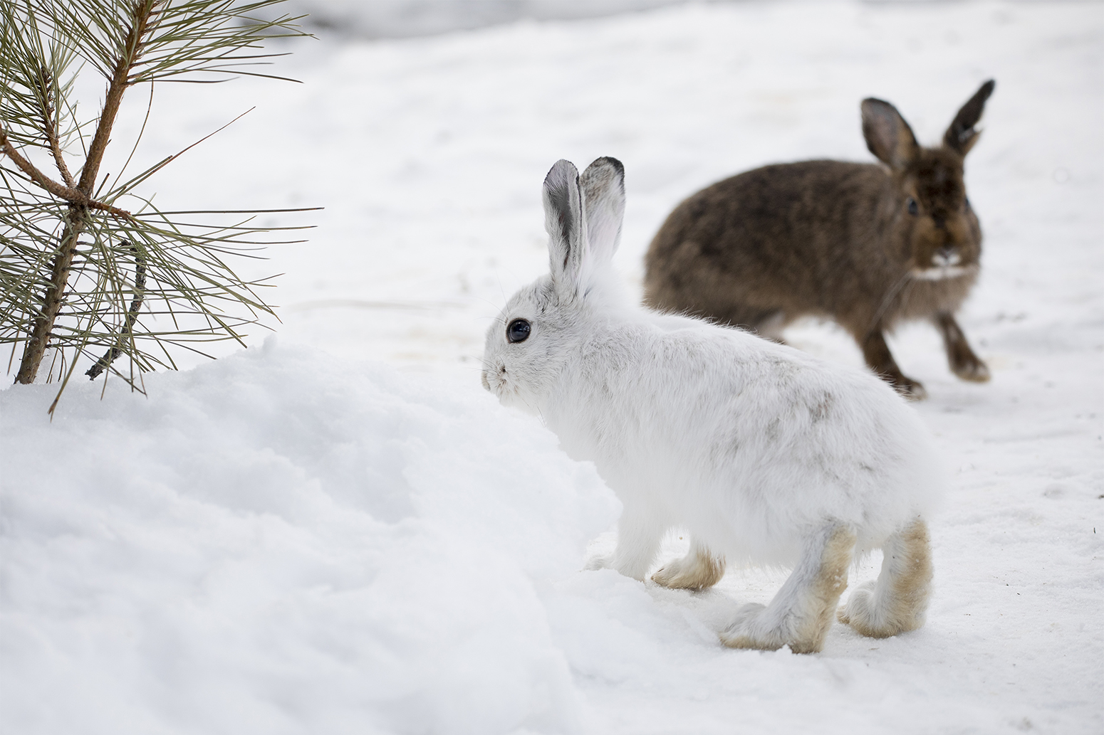 Animals With White Winter Camouflage Could Struggle To