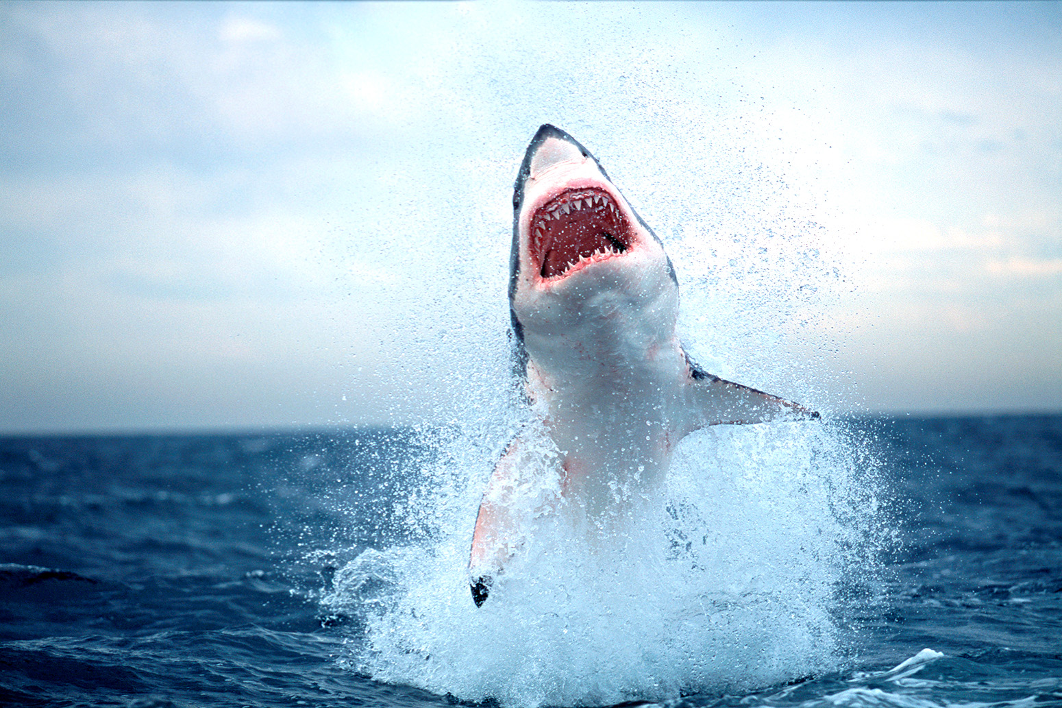 Factcheck Will Climate Change Bring Great White Sharks To