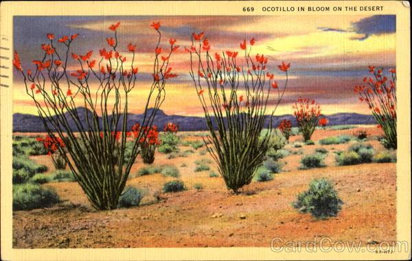 Ocotillo In Bloom On The Desert Cactus Amp Desert Plants