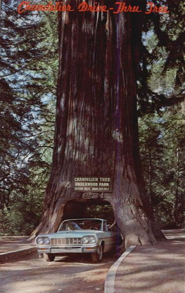 Chandler Drive Thru Tree Mendocino County Ca