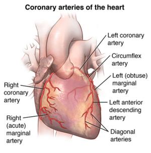 Your Coronary Arteries  Cardiac Health