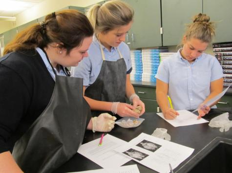DCC Anatomy Class Dissects Sheep Brains
