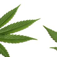 A career in cannabis. Is it for you?