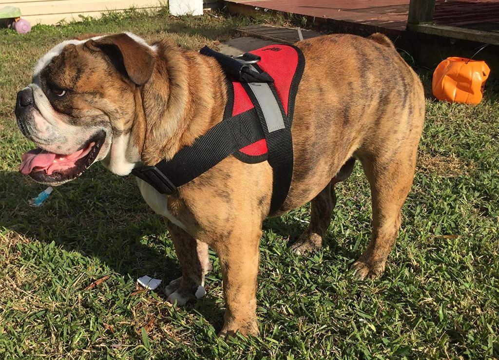 Harness for english bulldog