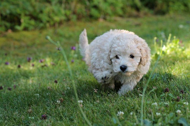 Minature Poodle