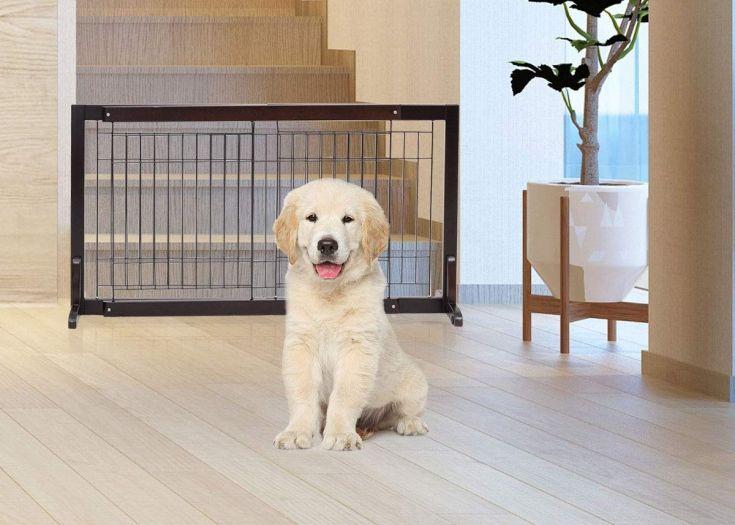 Golden Retrievers Puppy Before Dog Gate