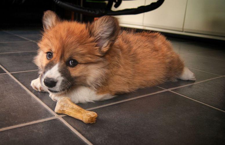 Corgi Puppy Food