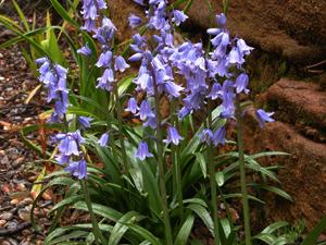 Image result for Hyacinthoides hispanica, nombre en español
