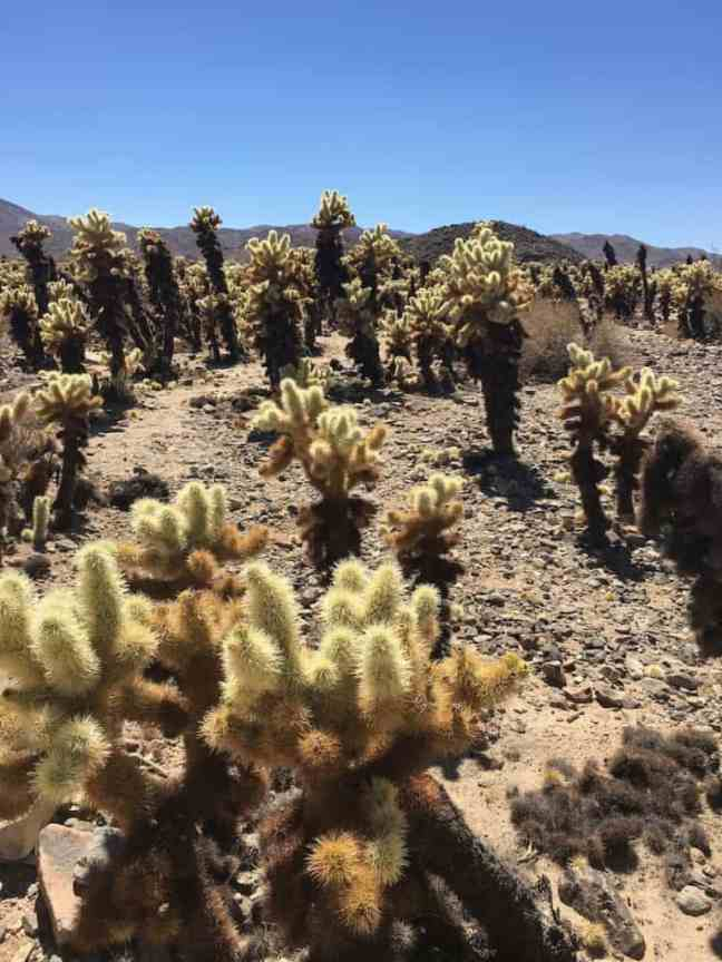 Discover the Cholla cactus in Joshua Tree National Park with kids