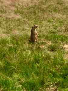 The prairie dogs of Devils Tower National Monument in Wyoming.