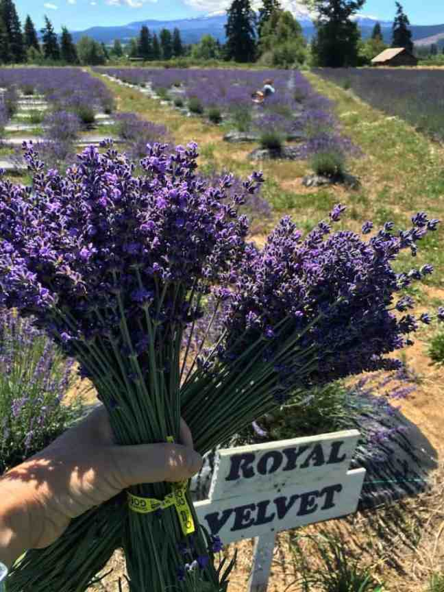 Pick lavender at the lavender farm when you explore Columbia River Gorge with kids.