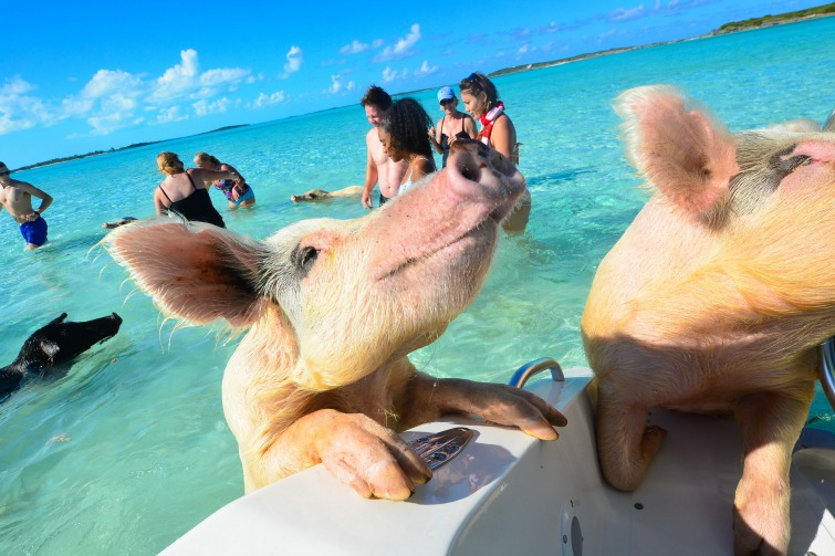 Image result for swimming pigs bahamas