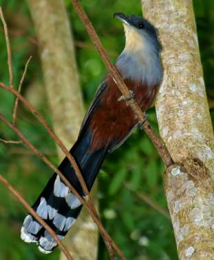 Chestnut-bellied cuckoo by Ted Lee Eubanks