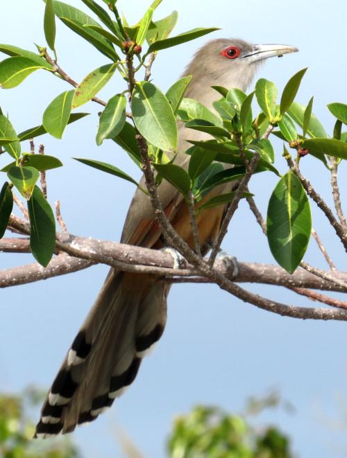 Great Lizard-Cuckoo (Photo by Carolyn Wardle)