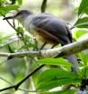 Hispaniolan Lizard-Cuckoo