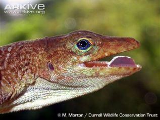 St. Lucia Tree Lizard