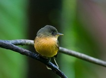 St. Lucia Pewee