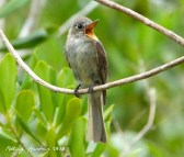 Cuban Pewee, by Keith Salveson.