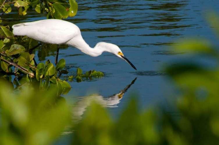 snowy-egret-foraging
