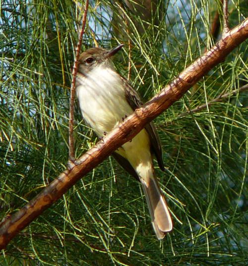 La Sagra's Flycatcher (Photo by Carolyn Wardle)