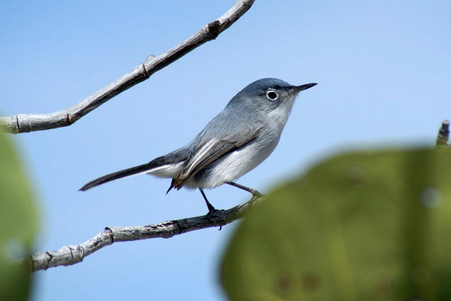 Blue-gray Gnatcatcher (Photo by Linda Huber)