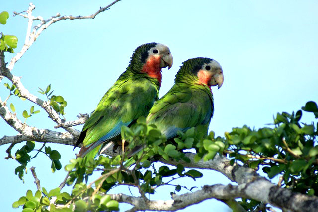 Cuban Parrots, Inagua Race (Photo by Linda Huber)