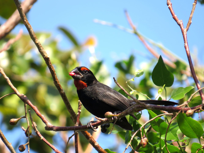 Greater Antillean Bullfinch (Photo by Carolyn Wardle)