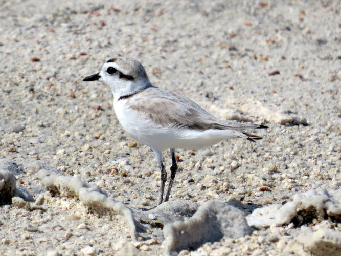 Snowy Plover (Photo by Carolyn Wardle)