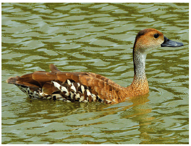 West Indian Whistling-Duck by Ted Eubanks.