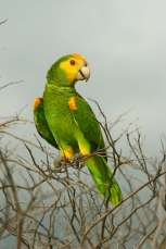 Yellow Shouldered Parrot_Sam Williams