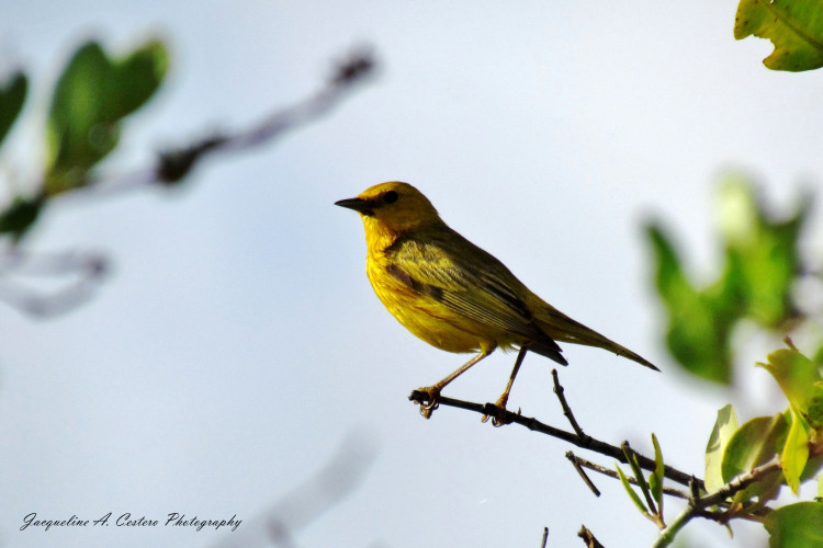Yellow Warbler (Photo by Jacqueline A. Cestero)