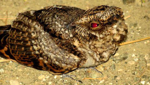 White-tailed Nightjar (Photo by Sipke Stapert)