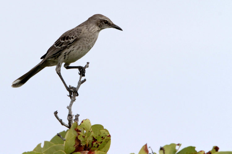 Bahama Mockingbird (Photo by Dr. Mike Pienkowski)