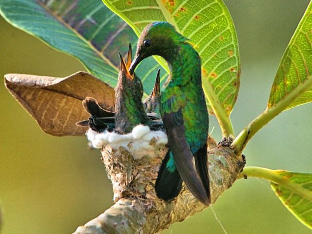 Green-throated Carib