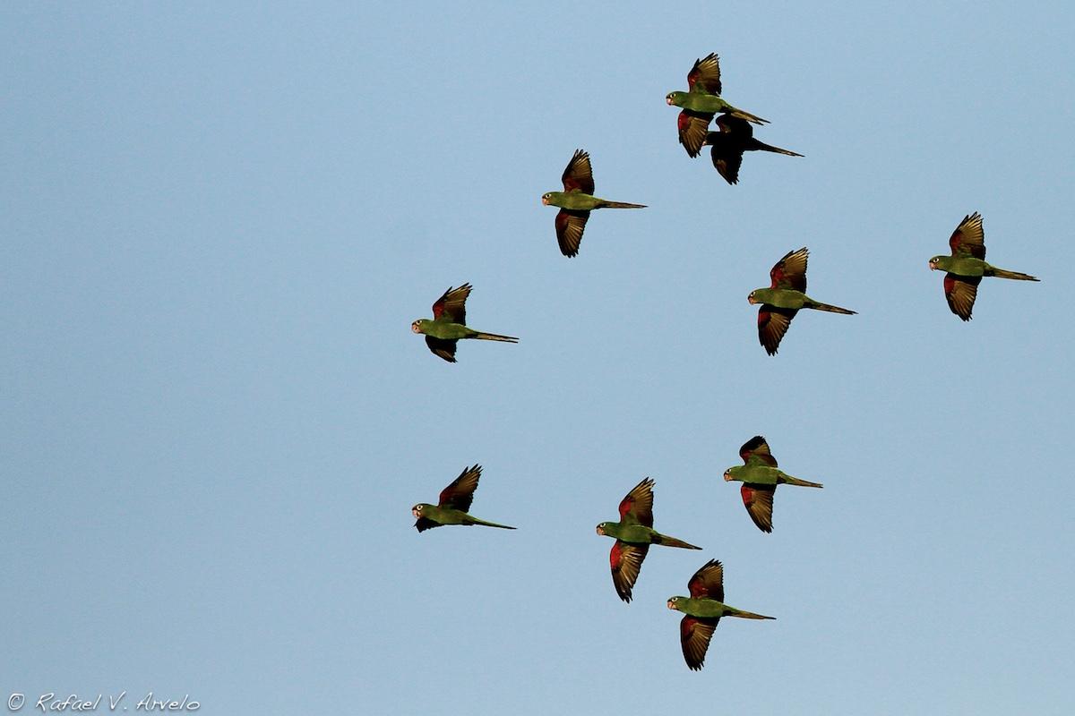 Hispaniolan Parakeets