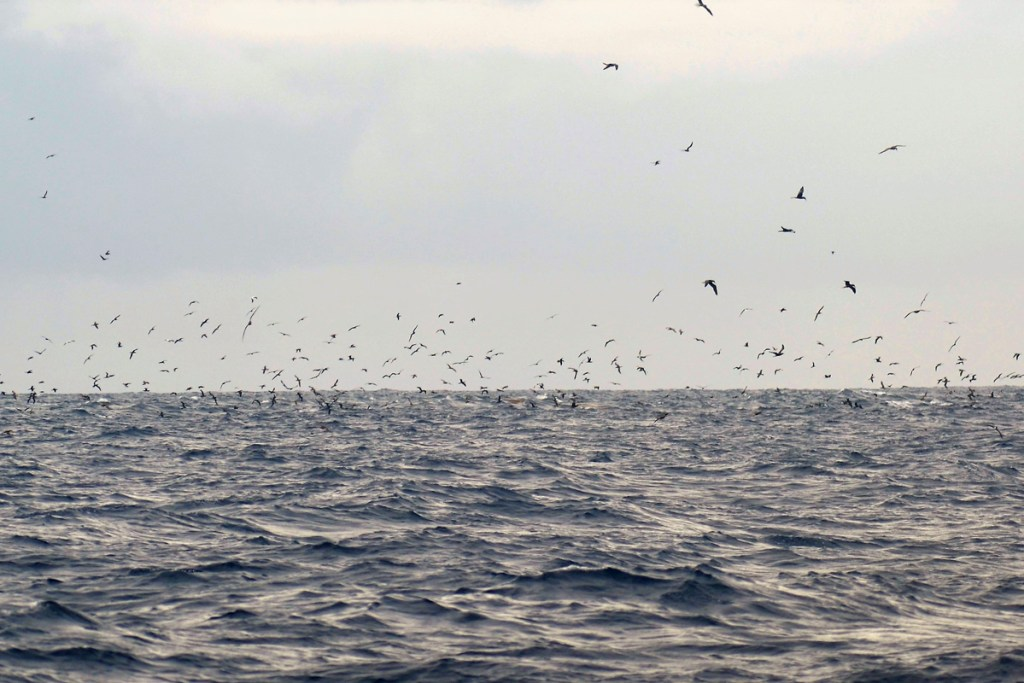 Seabird Flock off the Coast of Diamond Rock