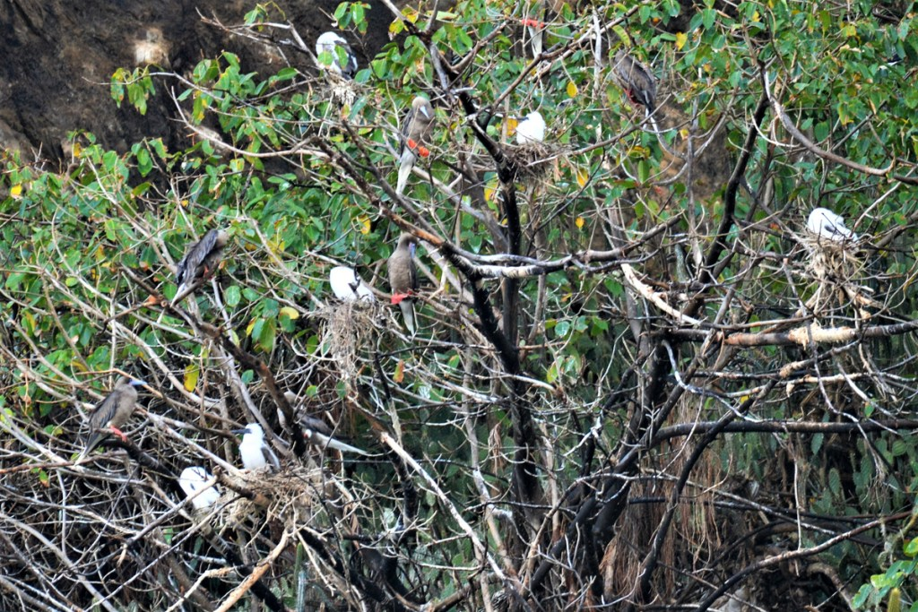Red-footed Booby Nests