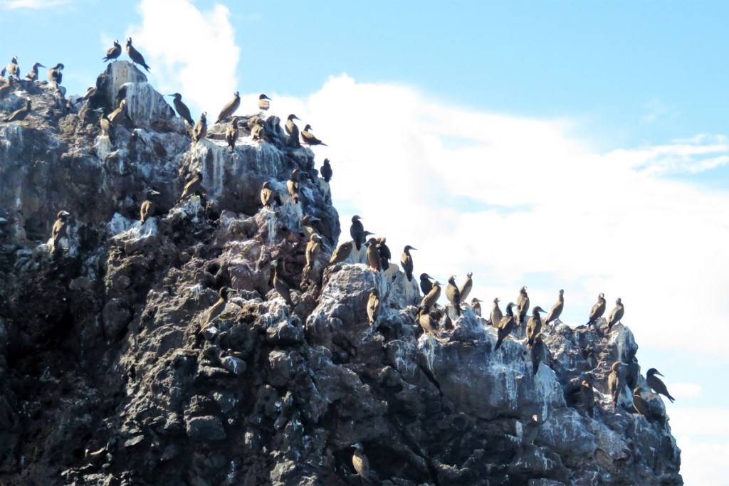 Brown Booby Colony on Diamond Rock