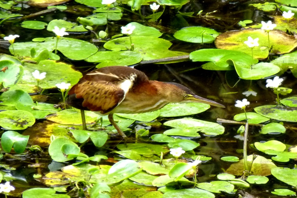 Least Bittern, locally uncommon, this species breeds in the mangroves surrounding the Park's natural lake