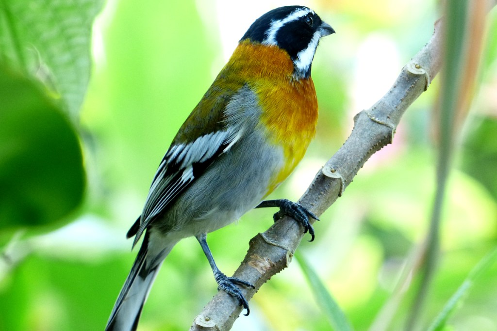 The Western Spindalis is a splendid bird is unusually abundant and approachable at the Botanic Park