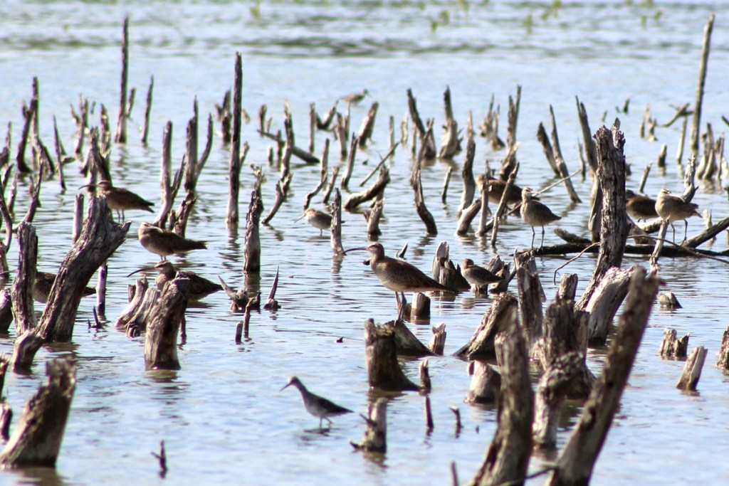 Whimbrels and other shorebirds