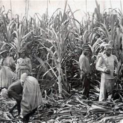 Sugar cane cutters, Jamaica, 1891 (Photo: ALAMY)