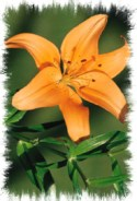 Daylily courtesy of Microsoft Word Clip Art