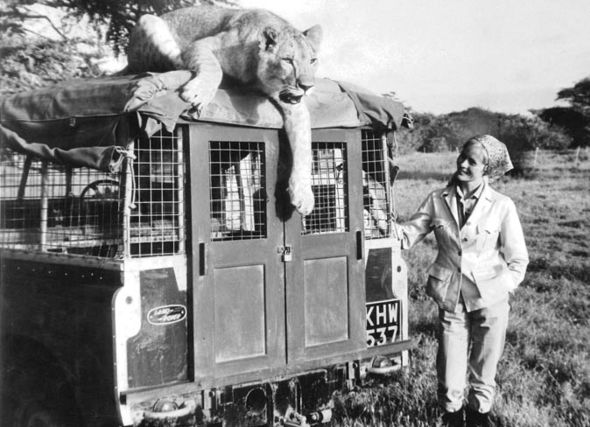 Virginia McKenna aux côtés d'un Land Rover Defender dans la nature avec un tigre dessus en 1966