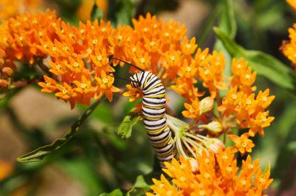 BUDDLEIA: Arbusto mariposa sin semillas