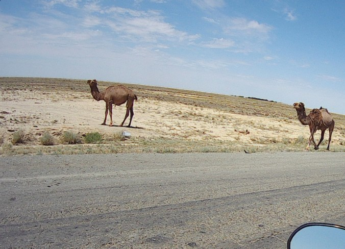 A lot of camels along the road. They look incredibly docile and stoic and not one got onto the road.