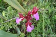 2-Donnortei - orchidea selvatica