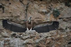 Buitre con alas desplegadas