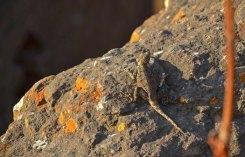 Una lagartija en Bet Gyorgis