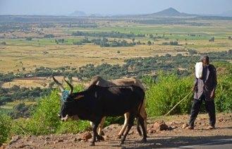 Bueyes en la carretera con el paisaje del altiplano